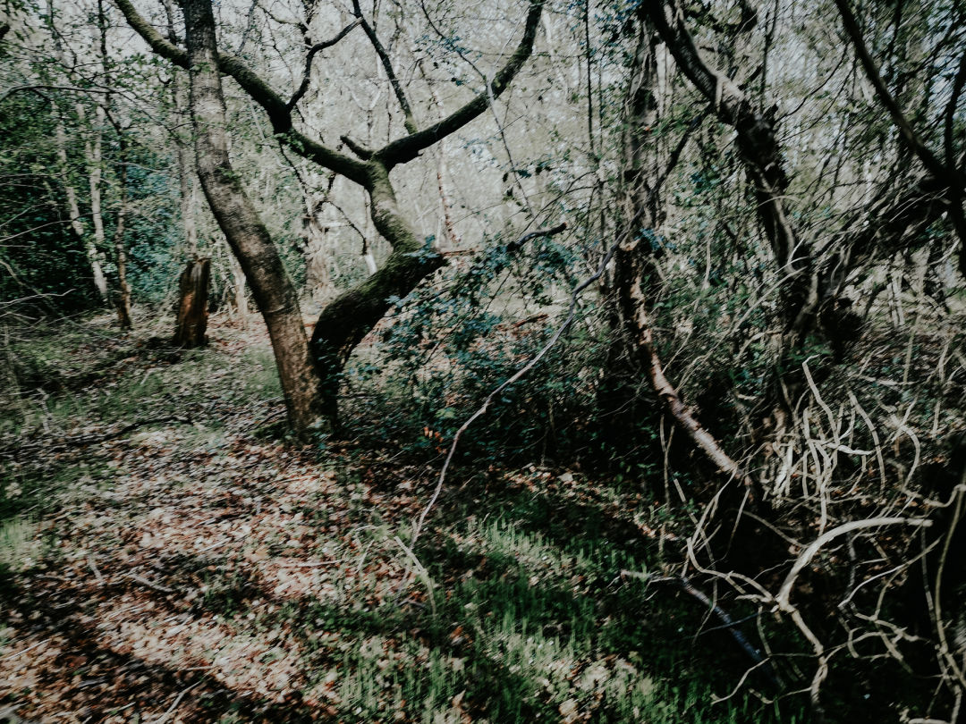 Photograph of woodland trees receding into the distance